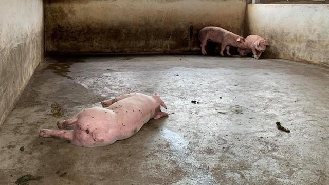 Xuất hiện tỉnh thứ 8 nhiễm dịch tả lợn Châu Phi - Ảnh 1.