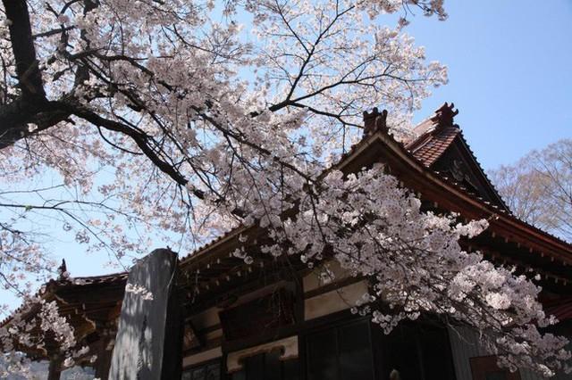 Chiêm ngưỡng báu vật quốc gia của xứ sở mặt trời mọc: Cây hoa anh đào khổng lồ đẹp nhất thế giới, thọ nhất thế giới với tuổi đời 1800 năm - Ảnh 1.