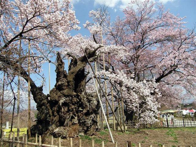Chiêm ngưỡng báu vật quốc gia của xứ sở mặt trời mọc: Cây hoa anh đào khổng lồ đẹp nhất thế giới, thọ nhất thế giới với tuổi đời 1800 năm - Ảnh 2.
