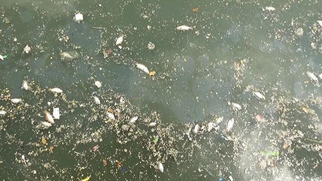 Cá lại chết nổi trắng kênh Nhiêu Lộc - Thị Nghè sau mưa  - Ảnh 3.