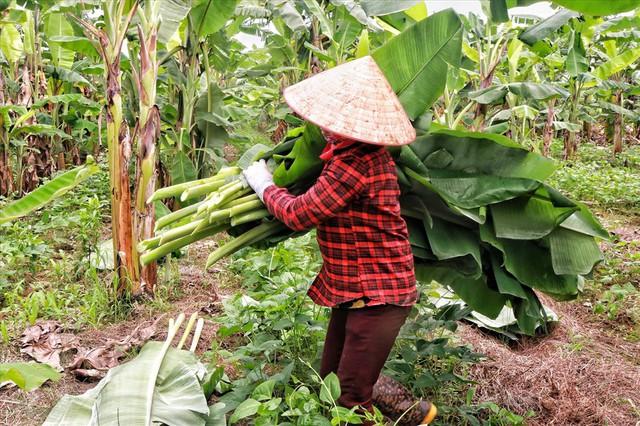 Lá chuối thay nilon, người dân kiếm bạc triệu từ nghề chặt lá chuối - Ảnh 3.