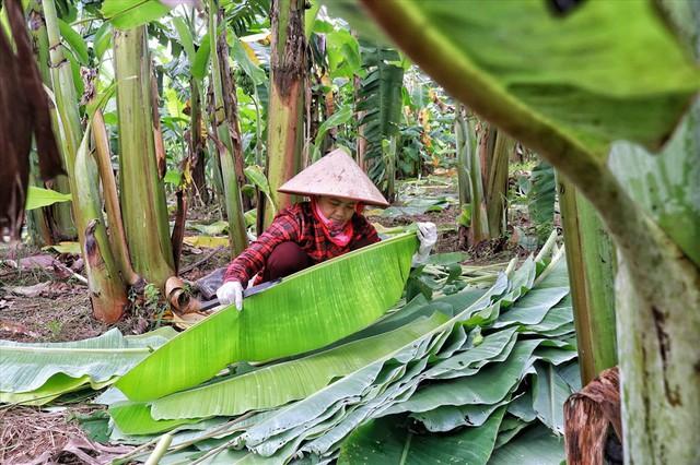 Lá chuối thay nilon, người dân kiếm bạc triệu từ nghề chặt lá chuối - Ảnh 9.