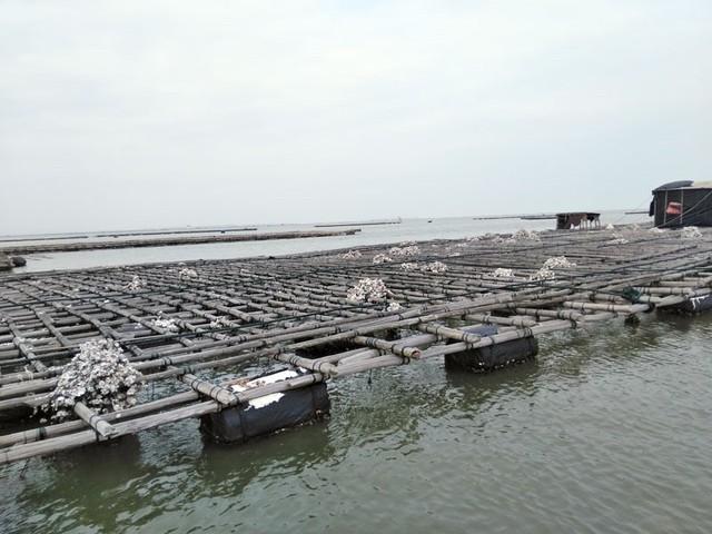 Quảng Ninh: Hàng trăm tấn hà nuôi chết bất thường, ngư dân xót lòng - Ảnh 1.