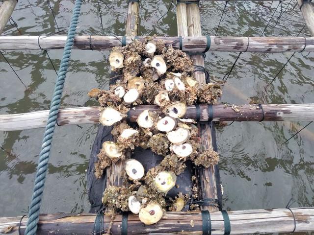 Quảng Ninh: Hàng trăm tấn hà nuôi chết bất thường, ngư dân xót lòng - Ảnh 3.