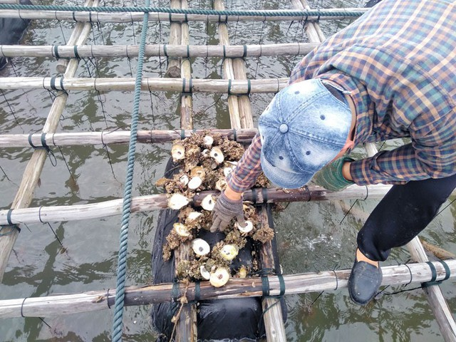 Quảng Ninh: Hàng trăm tấn hà nuôi chết bất thường, ngư dân xót lòng - Ảnh 4.