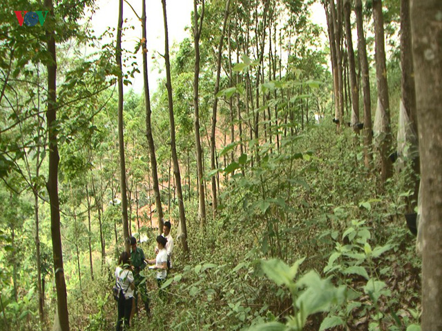 """10 năm trồng cao su, nhiều người dân Sơn La """"vỡ mộng"""" vì thất thu - Ảnh 2."""