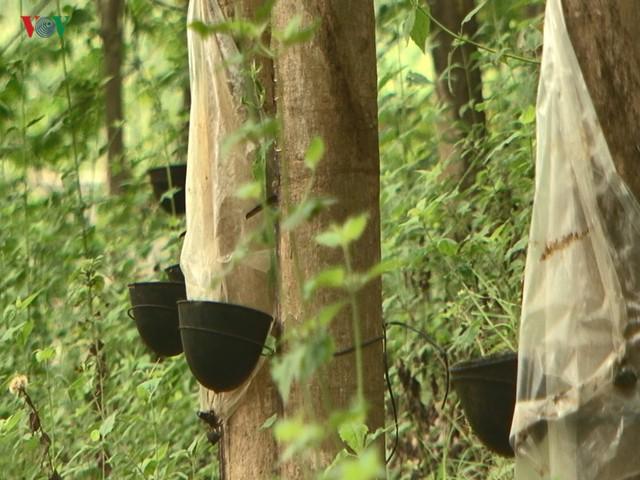 """10 năm trồng cao su, nhiều người dân Sơn La """"vỡ mộng"""" vì thất thu - Ảnh 3."""