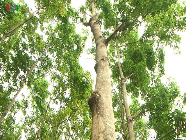 """10 năm trồng cao su, nhiều người dân Sơn La """"vỡ mộng"""" vì thất thu - Ảnh 4."""
