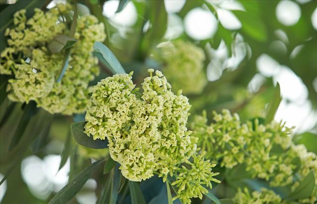 Ngỡ ngàng mùi hoa sữa trái mùa giữa lòng Hà Nội - Ảnh 4.