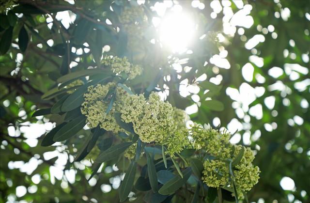 Ngỡ ngàng mùi hoa sữa trái mùa giữa lòng Hà Nội - Ảnh 8.