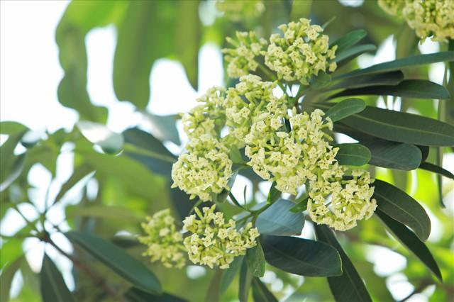 Ngỡ ngàng mùi hoa sữa trái mùa giữa lòng Hà Nội - Ảnh 9.