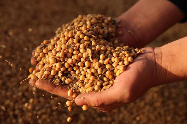 Căng thẳng thương mại Mỹ-Trung: Nông dân trồng đậu tương ở Mỹ điêu đứng - Ảnh 1.