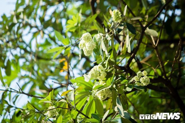 Hoa sữa nở giữa mùa hè: Chuyên gia lý giải do cây lầm tưởng mùa thu đến - Ảnh 1.