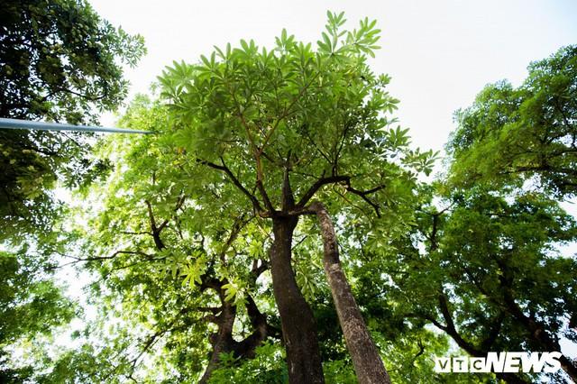 Hoa sữa nở giữa mùa hè: Chuyên gia lý giải do cây lầm tưởng mùa thu đến - Ảnh 2.