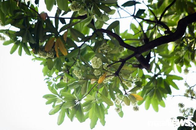 Hoa sữa nở giữa mùa hè: Chuyên gia lý giải do cây lầm tưởng mùa thu đến - Ảnh 3.