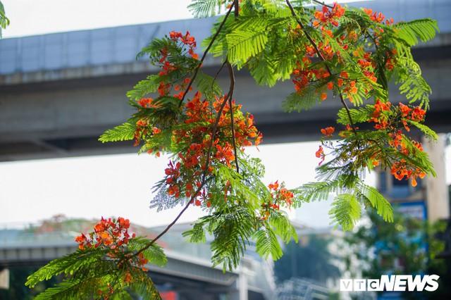 Hoa sữa nở giữa mùa hè: Chuyên gia lý giải do cây lầm tưởng mùa thu đến - Ảnh 6.