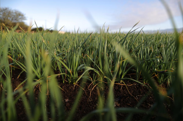 Nông dân trồng tỏi Mỹ mong áp thuế mãi mãi với Trung Quốc - Ảnh 1.