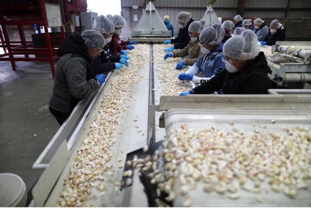 Nông dân trồng tỏi Mỹ mong áp thuế mãi mãi với Trung Quốc - Ảnh 2.