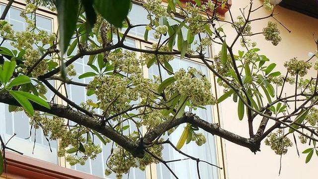 Hoa sữa, hoa phượng cùng bằng lăng nở rộ đường phố Hà Nội - Ảnh 11.