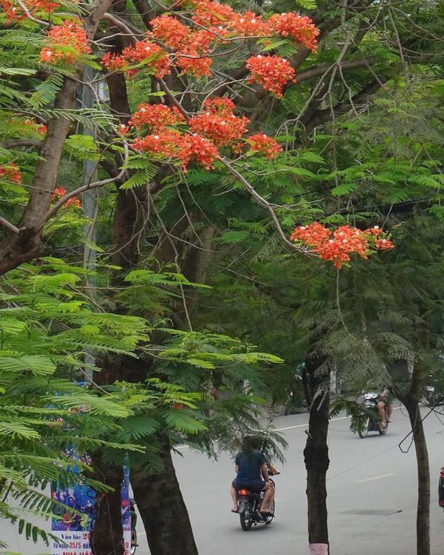 Hoa sữa, hoa phượng cùng bằng lăng nở rộ đường phố Hà Nội - Ảnh 12.