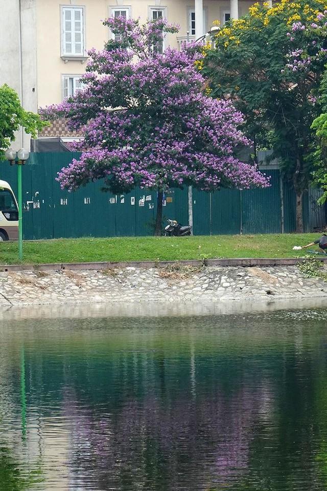 Hoa sữa, hoa phượng cùng bằng lăng nở rộ đường phố Hà Nội - Ảnh 16.