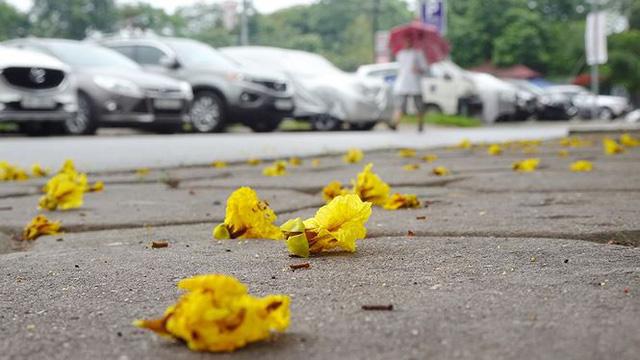 Hoa sữa, hoa phượng cùng bằng lăng nở rộ đường phố Hà Nội - Ảnh 6.