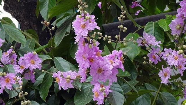 Hoa sữa, hoa phượng cùng bằng lăng nở rộ đường phố Hà Nội - Ảnh 7.