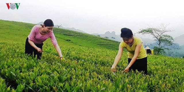 Hàng trăm hecta chè héo lá, người dân Yên Bái điêu đứng - Ảnh 2.
