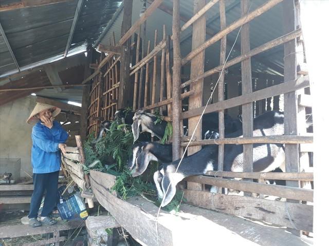 Giá dê cao kỷ lục, người dân Bình Phước đổ xô… nuôi dê - Ảnh 2.