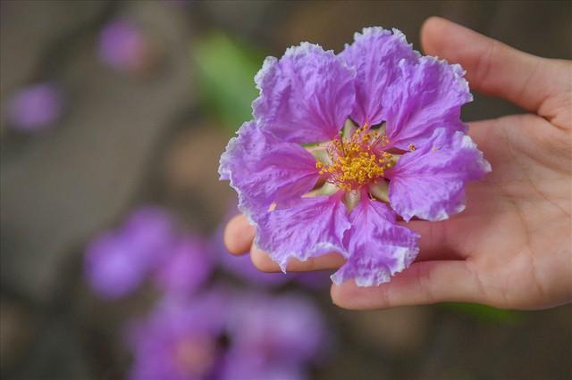 Hoa bằng lăng nhuộm tím phố phường Hà Nội - Ảnh 3.