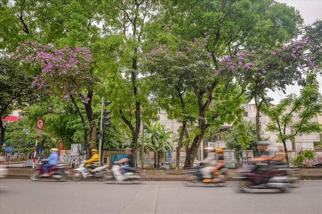 Hoa bằng lăng nhuộm tím phố phường Hà Nội - Ảnh 6.