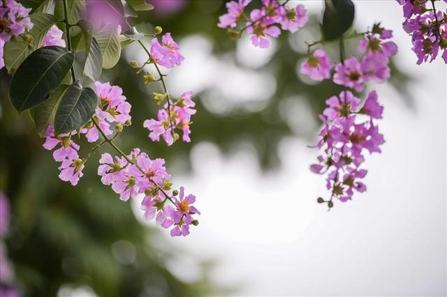 Hoa bằng lăng nhuộm tím phố phường Hà Nội - Ảnh 8.