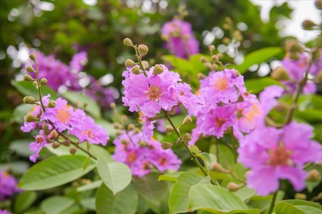 Hoa bằng lăng nhuộm tím phố phường Hà Nội - Ảnh 10.