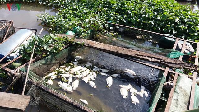 Hé lộ nguyên nhân khiến cá lồng, bè ở Tiền Giang chết hàng loạt - Ảnh 1.