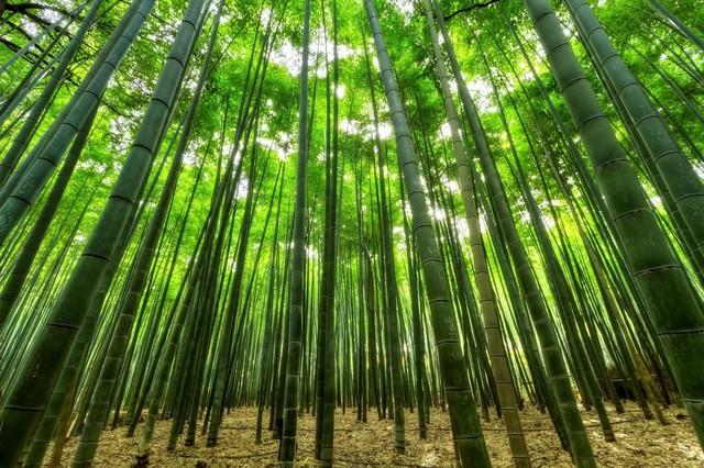 Lạc lối giữa mê cung xanh mướt của rừng tre Sagano: Nơi chứa đựng những âm thanh tinh túy cả Nhật Bản đều muốn bảo tồn - Ảnh 2.