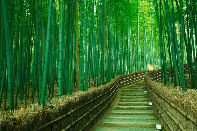 Lạc lối giữa mê cung xanh mướt của rừng tre Sagano: Nơi chứa đựng những âm thanh tinh túy cả Nhật Bản đều muốn bảo tồn - Ảnh 4.
