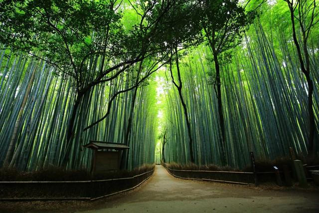 Lạc lối giữa mê cung xanh mướt của rừng tre Sagano: Nơi chứa đựng những âm thanh tinh túy cả Nhật Bản đều muốn bảo tồn - Ảnh 3.