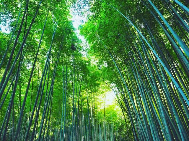 Lạc lối giữa mê cung xanh mướt của rừng tre Sagano: Nơi chứa đựng những âm thanh tinh túy cả Nhật Bản đều muốn bảo tồn - Ảnh 11.