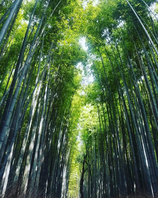 Lạc lối giữa mê cung xanh mướt của rừng tre Sagano: Nơi chứa đựng những âm thanh tinh túy cả Nhật Bản đều muốn bảo tồn - Ảnh 15.