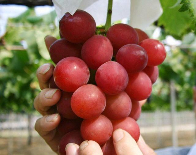 Những loại trái cây giá trên trời, gấp cả trăm lần quả vải thiều Shintomi 240.000 đồng/quả, có loại cả trăm triệu đồng - Ảnh 12.