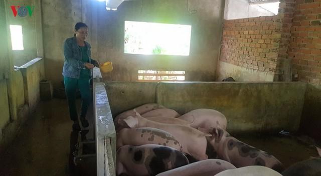 """Nông dân """"tiến thoái lưỡng nan"""" với đàn lợn nuôi ở vùng dịch - Ảnh 1."""
