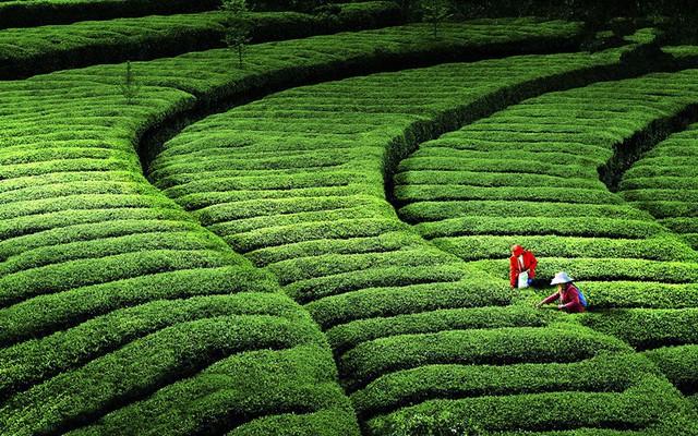 Từ nhúm trà xanh vua Càn Long trộm của cô thôn nữ, giờ đây mới có món Tôm Long Tỉnh thơm ngon nức tiếng - Ảnh 13.