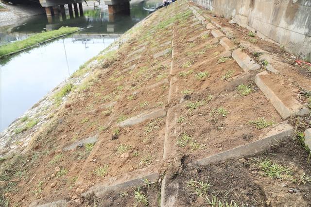 Hành trình phủ xanh cỏ lá tre trên kè sông Tô Lịch - Ảnh 4.