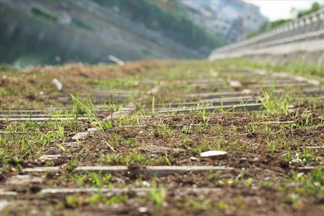 Hành trình phủ xanh cỏ lá tre trên kè sông Tô Lịch - Ảnh 9.