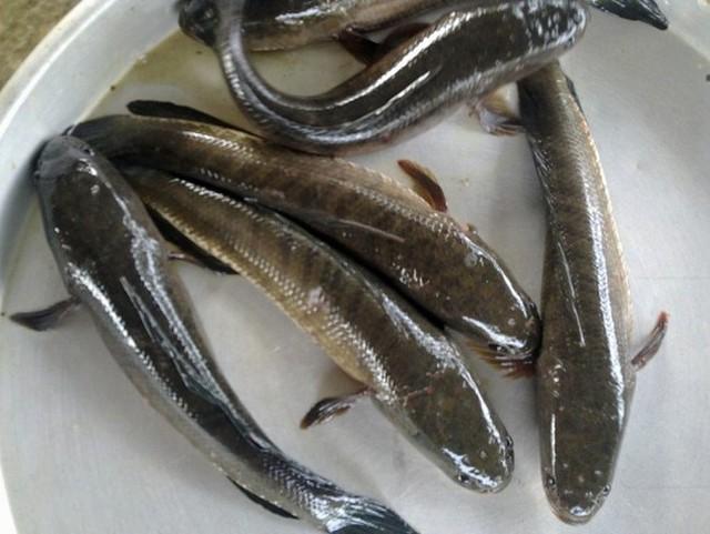 Thương lái tại Đồng Tháp tranh mua vảy cá lóc - Ảnh 1.