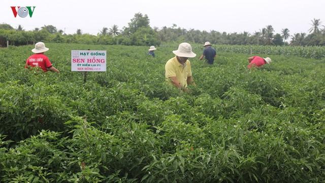 """Nông dân thu nhập """"khủng"""" từ mô hình trồng cây ớt dưới chân ruộng - Ảnh 1."""