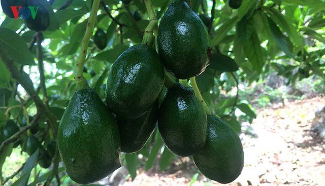 Bơ Sơn La được xuất khẩu đi nhiều quốc gia - Ảnh 1.