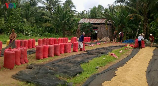 Giá lúa tăng, nhưng nông dân Trà Vinh vẫn lãi ít, vì năng suất kém - Ảnh 2.