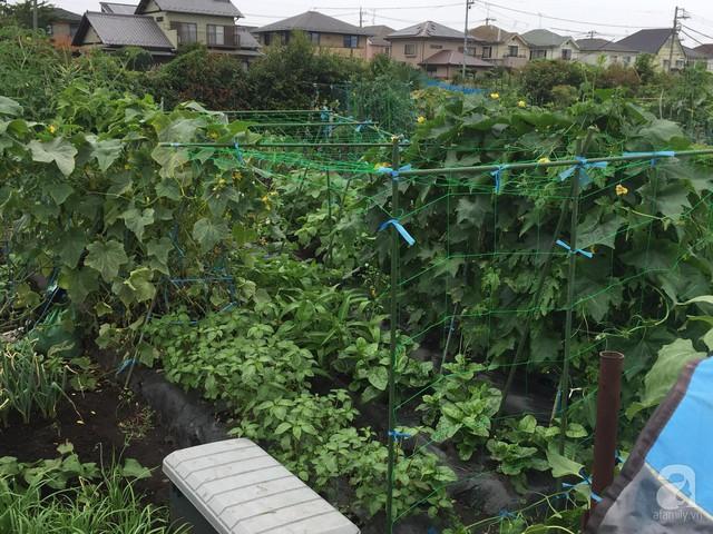 Gia đình Việt ở Nhật: Ông bố kỹ sư dành thời gian thuê đất, phủ kín bằng rau quả sạch cho vợ con thỏa nỗi nhớ quê hương  - Ảnh 29.
