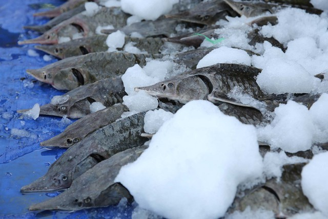 Người dân TP HCM chen nhau mua cá tầm bị ngộp nước - ảnh 8